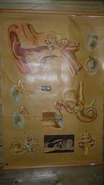 schoolkaart anatomie oor